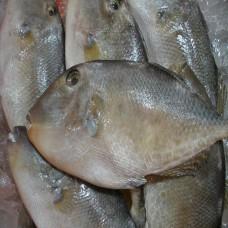 Ikan Ayam-ayam Per 100 gram