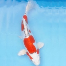 Local Breed Koi 40 - 50 cm